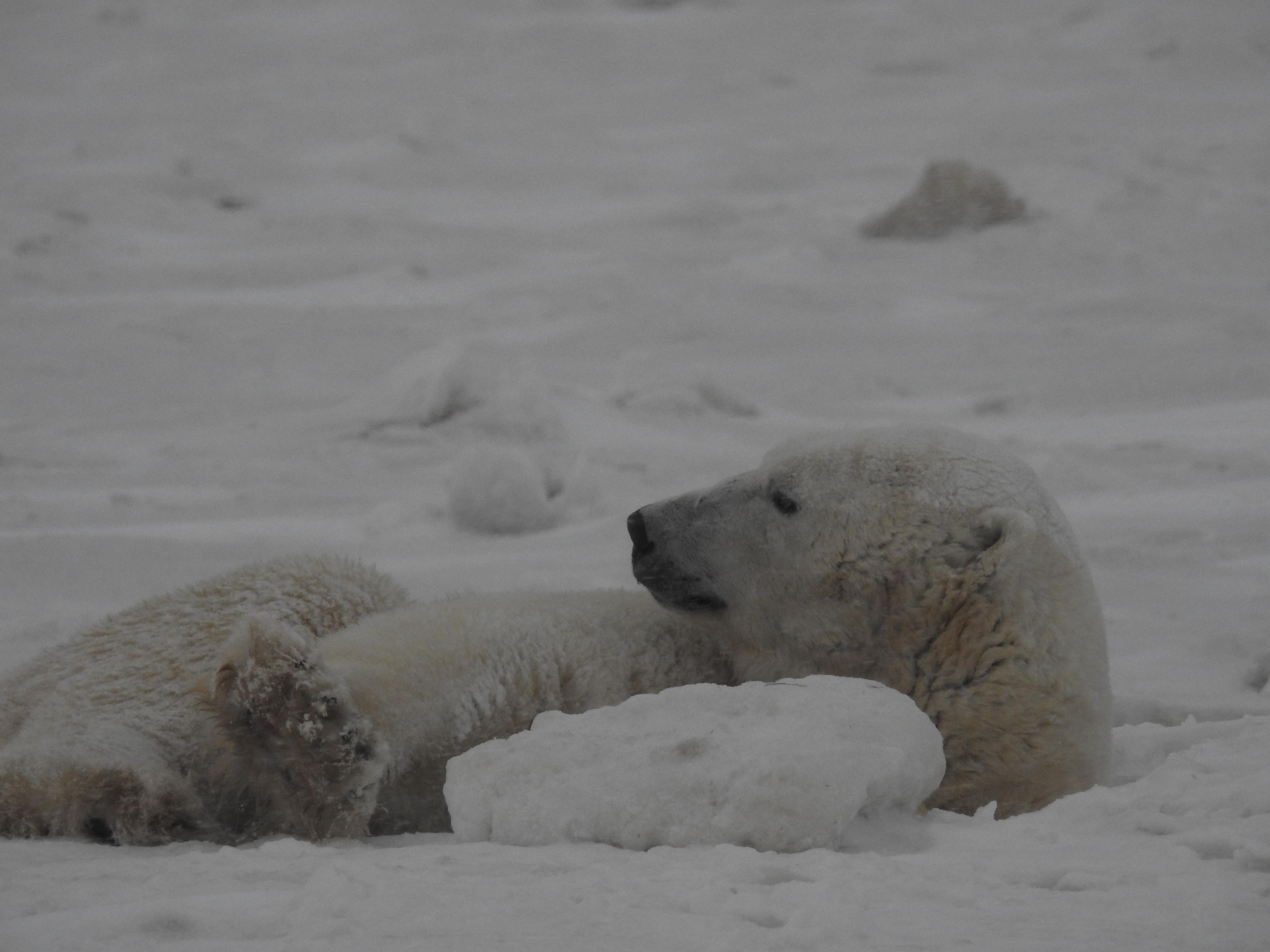 11_01 Iceberg Bear (9)